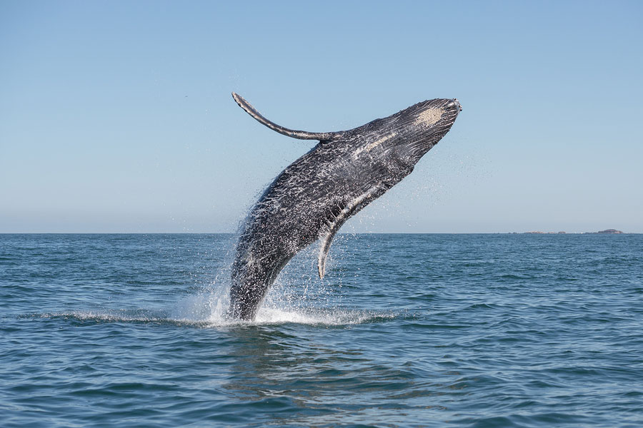 whale breaches in the pacific ocean